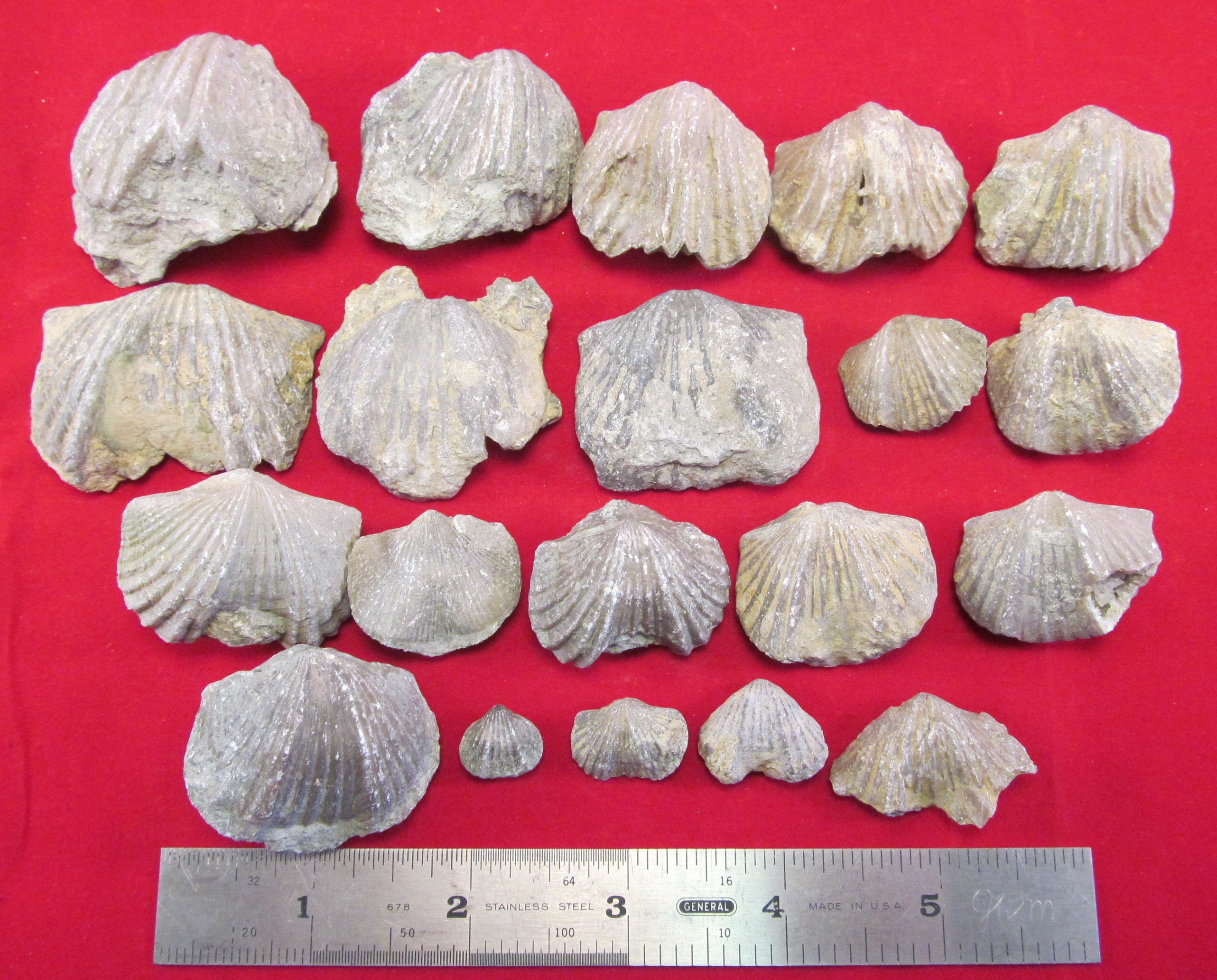 BIVALVE, BRACHIOPOD & GASTROPOD FOSSILS - Creation Engineering Concepts